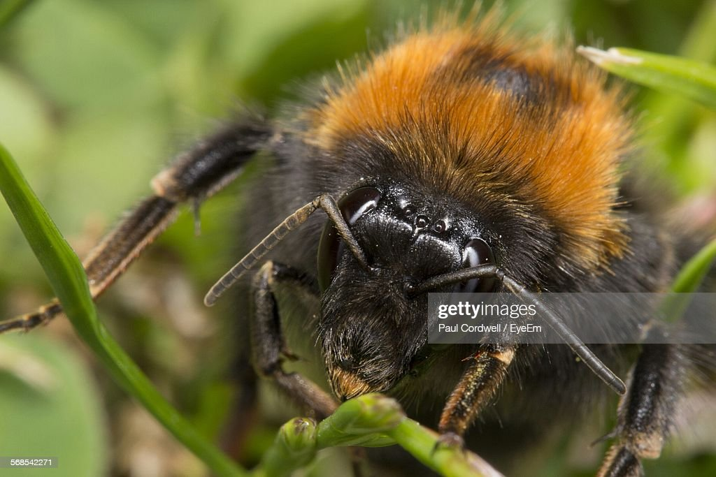 Close-Up Of Bumblebee On Stem : Stock Photo