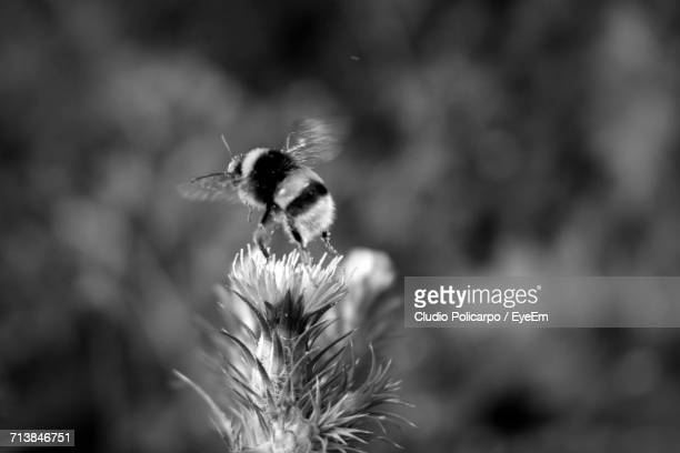 Close Up Of Bumblebee On Thistle