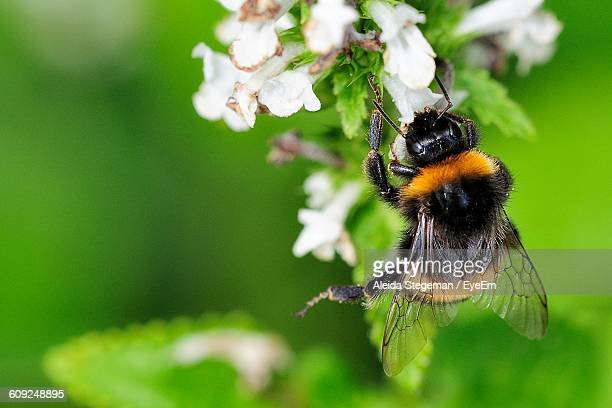 Close-Up Of Bumblebee On White Flowers
