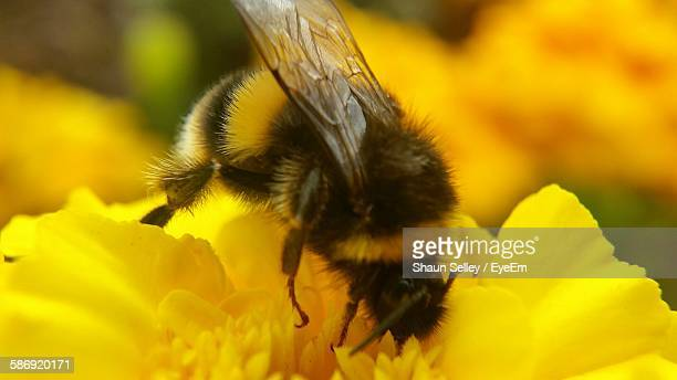 Close-Up Of Bumblebee On Yellow Flower Blooming Outdoors