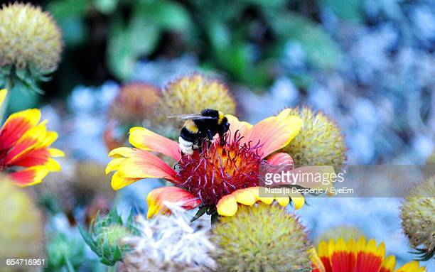 Close-Up Of Bumblebee Pollinating Flower