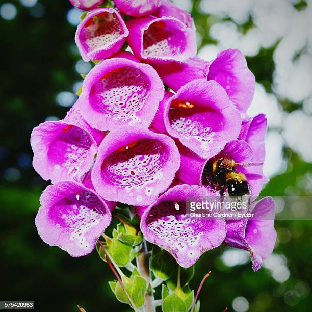 Close-Up Of Bumblebee Pollinating Foxglove