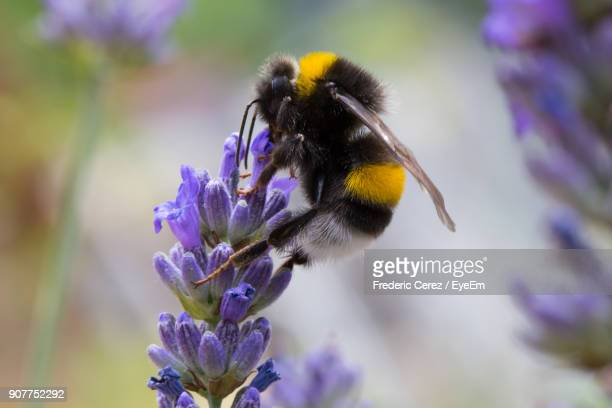 close-up of bumblebee pollinating on purple flower buds - calabrone foto e immagini stock