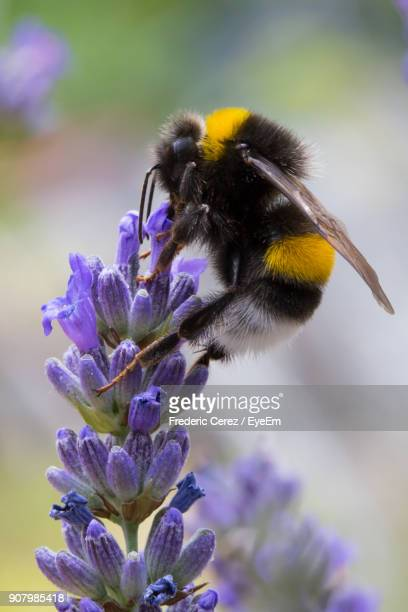 close-up of bumblebee pollinating on purple flower buds - bumblebee stock pictures, royalty-free photos & images