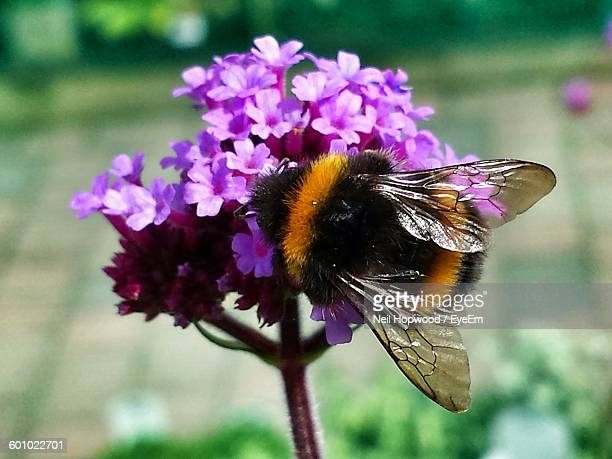 close-up of bumblebee pollinating on purple flowers - bumblebee stock pictures, royalty-free photos & images