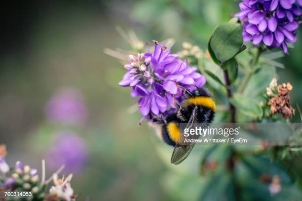 close-up of bumblebee pollinating on purple flowers - calabrone foto e immagini stock