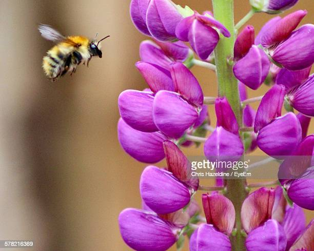 Close-Up Of Bumblebee Reaching Towards Pink Flowers