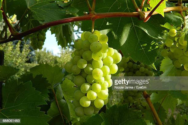 close-up of bunch of grapes - white grape stock photos and pictures
