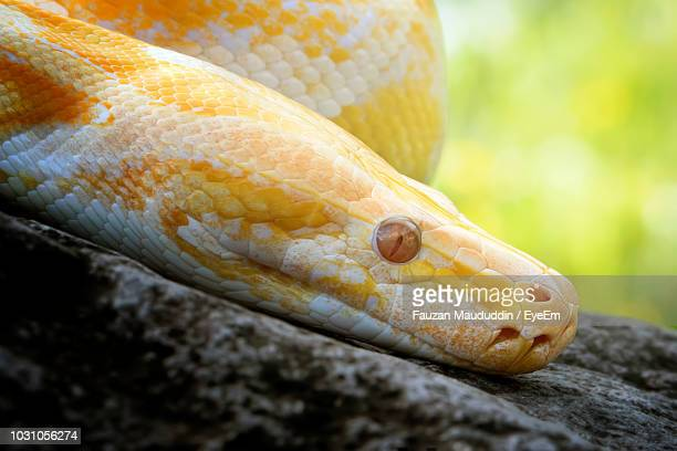 close-up of burmese python on rock - indian python stock pictures, royalty-free photos & images