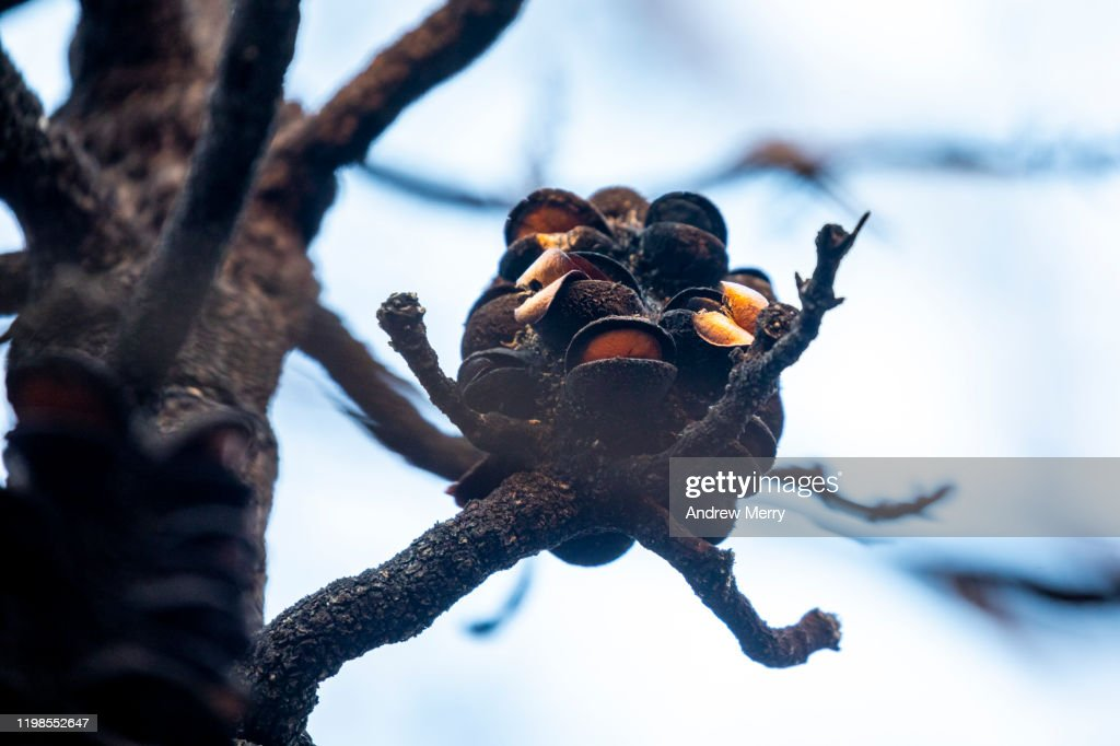 Closeup of burnt Banksia plant with open seed pods after bushfire, forest fire, Blue Mountains, Australia : Stock Photo