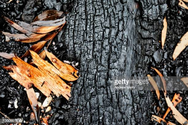 closeup of burnt tree, leaves and bark on forest floor after bush fire, australia - 灰 ストックフォトと画像