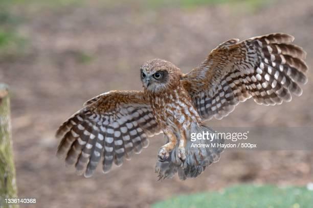 close-up of burrowing owl flying over field,puddletown,united kingdom,uk - animal behaviour stock pictures, royalty-free photos & images