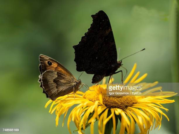 close-up of butterflies on yellow flower - igor golovniov stock pictures, royalty-free photos & images