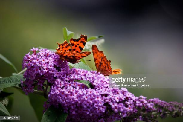 Close-Up Of Butterflies Pollinating On Purple Flowers