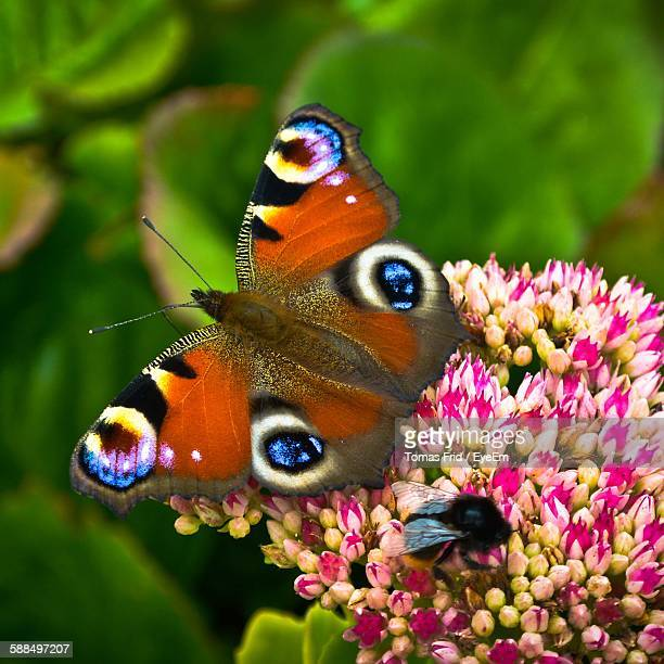 Close-Up Of Butterfly And Bee On Pink Flowers