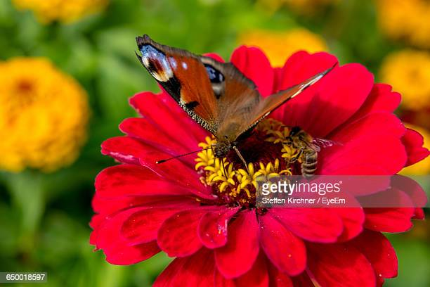 Close-Up Of Butterfly And Honey Bee On Red Zinnia