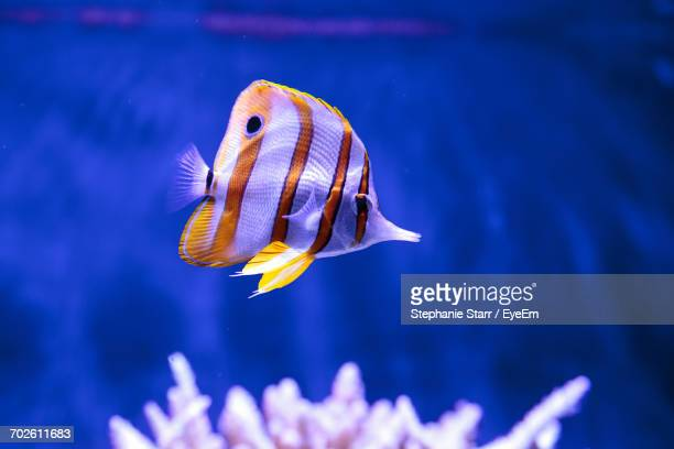 Close-Up Of Butterfly Fish In Water