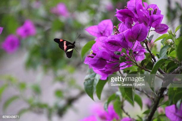 Close-Up Of Butterfly Flying By Bougainvillea