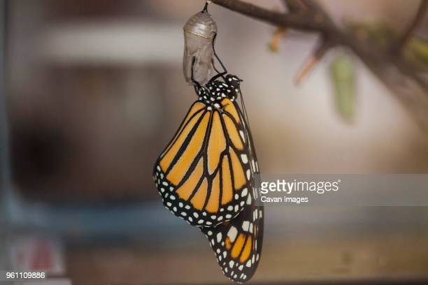 close-up of butterfly on cocoon hanging on twig - hatching stock pictures, royalty-free photos & images