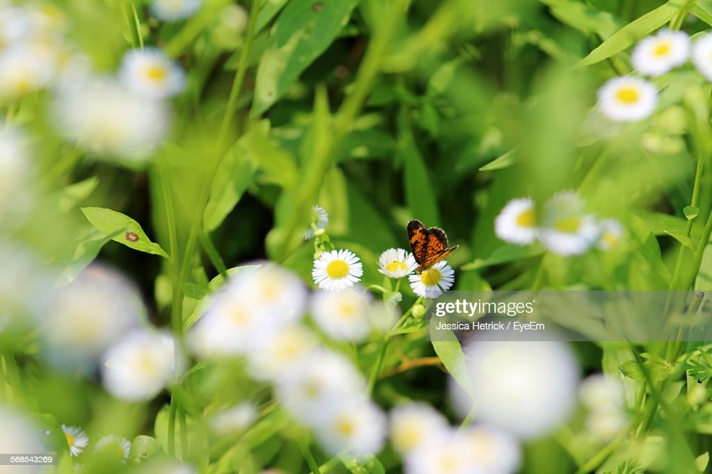 Close-Up Of Butterfly On Daisy In Park : Stock Photo