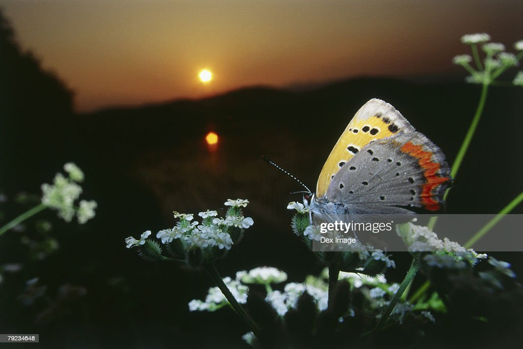 Close-up of Butterfly on flower at sunset : Stock Photo