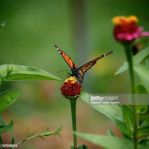 close-up of butterfly on flower - solomon turkel stock pictures, royalty-free photos & images