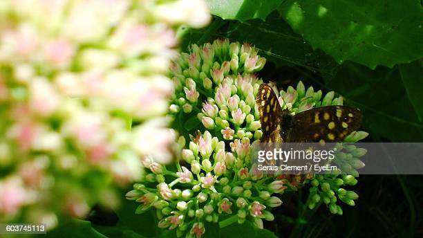 Close-Up Of Butterfly On Hydrangea Buds