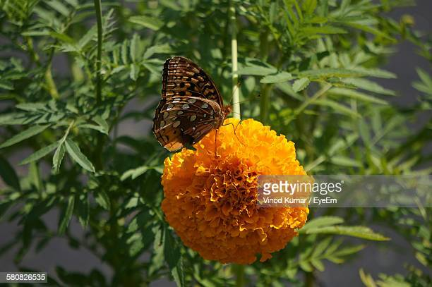 Close-Up Of Butterfly On Marigold Blooming Outdoors