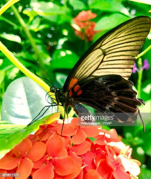 Close-up of butterfly on orange Flower