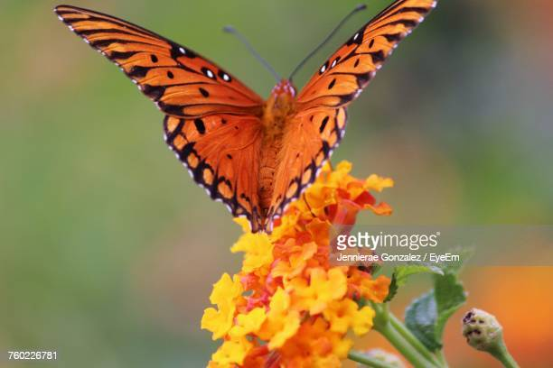 Close-Up Of Butterfly On Orange Flowers
