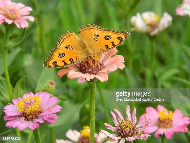close-up of butterfly on pink flower - bangladesh nature stock photos and pictures