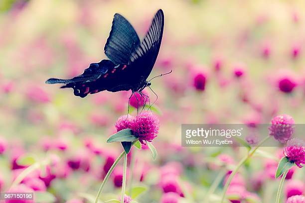 Close-Up Of Butterfly On Pink Flowers Blooming Outdoors