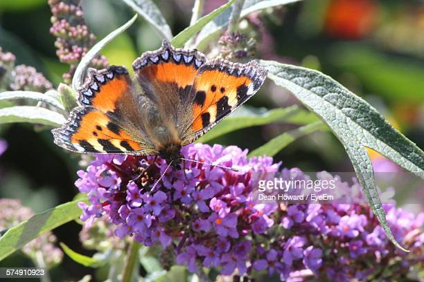 close-up of butterfly on purple flowers - howard,_wisconsin stock pictures, royalty-free photos & images