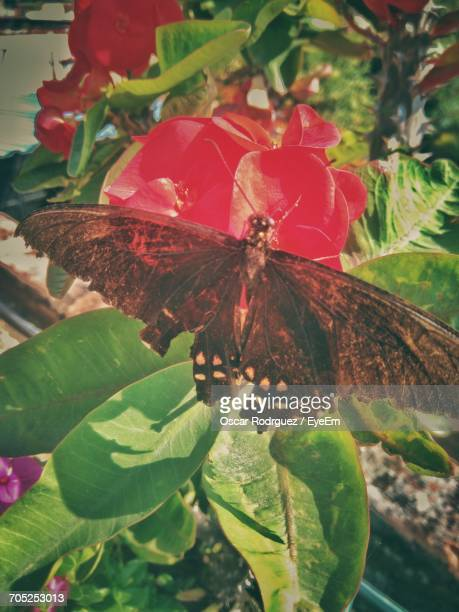 Close-Up Of Butterfly On Red Flower