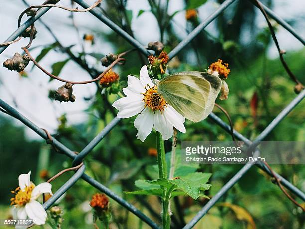 Close-Up Of Butterfly On White Flower By Chainlink Fence