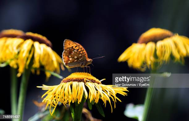 close-up of butterfly on yellow flower - igor golovniov stock pictures, royalty-free photos & images