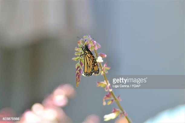 close-up of butterfly - liga cerina stock pictures, royalty-free photos & images