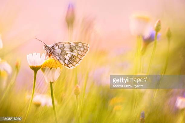 close-up of butterfly pollinating flower in spring - andrea rizzi foto e immagini stock