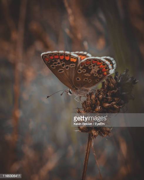 close-up of butterfly pollinating flower - perching stock photos and pictures