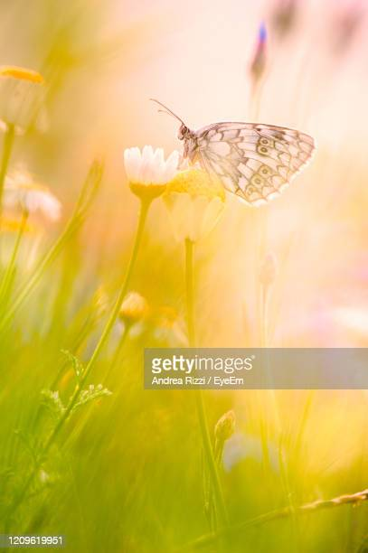 close-up of butterfly pollinating flower - andrea rizzi foto e immagini stock
