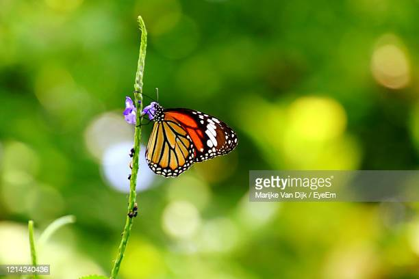 close-up of butterfly pollinating flower - van dijk stock pictures, royalty-free photos & images
