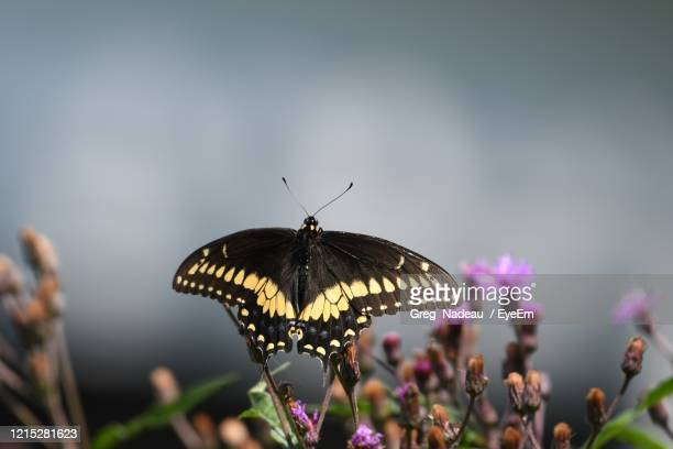 close-up of butterfly pollinating flower - greg nadeau stock pictures, royalty-free photos & images