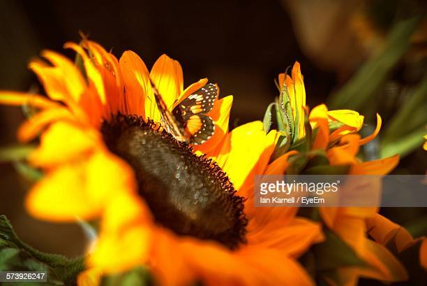 Close-Up Of Butterfly Pollinating On Flower Growing In Field