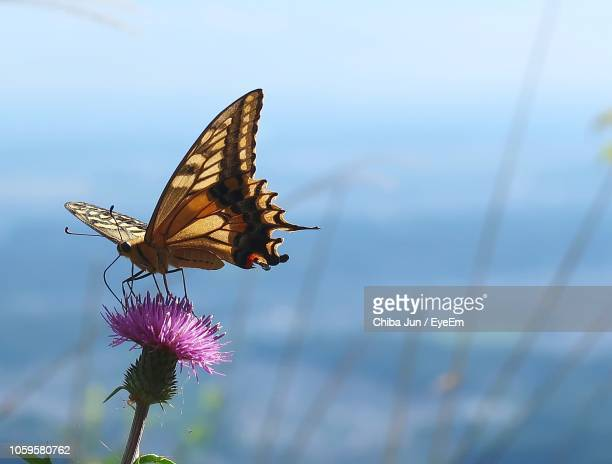 close-up of butterfly pollinating on flower - 花粉 ストックフォトと画像
