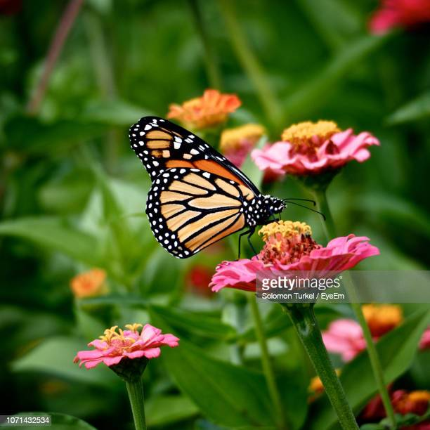 close-up of butterfly pollinating on flower - solomon turkel stock pictures, royalty-free photos & images