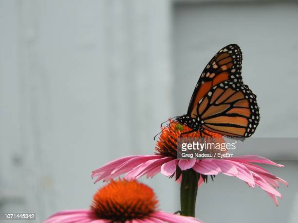 close-up of butterfly pollinating on flower - greg nadeau stock pictures, royalty-free photos & images