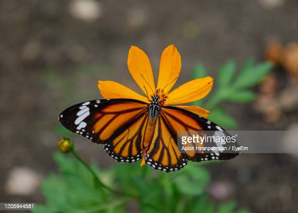 close-up of butterfly pollinating on flower - symbiotic relationship stock pictures, royalty-free photos & images