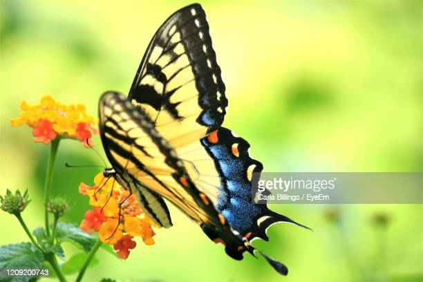 close-up of butterfly pollinating on flower - swallowtail butterfly stock pictures, royalty-free photos & images