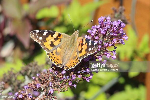 close-up of butterfly pollinating on flowers - howard,_wisconsin stock pictures, royalty-free photos & images