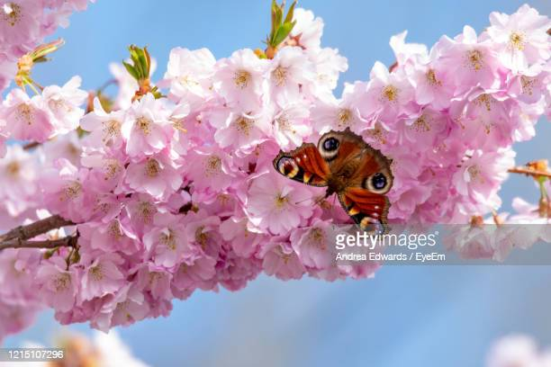 close-up of butterfly pollinating on pink cherry blossom - animals in the wild stock pictures, royalty-free photos & images